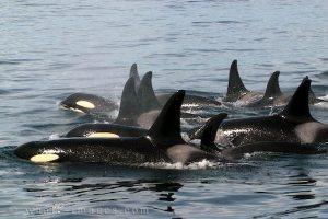 famille d'orques
