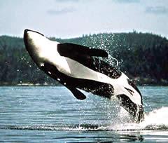 orque jaillissant hors de l'eau