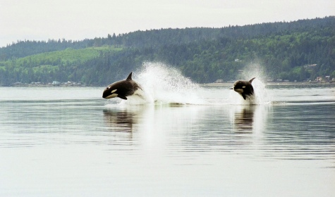 orques transients