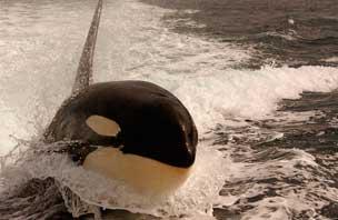 orque tête dehors