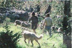 loup et bergers